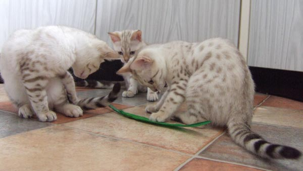 Three Blue eyed snow Bengals playing