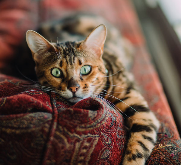 Bengal Brown Spotted Laying Down On Sofa