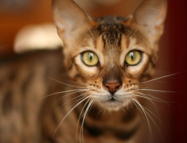 Bengal Cat Face
