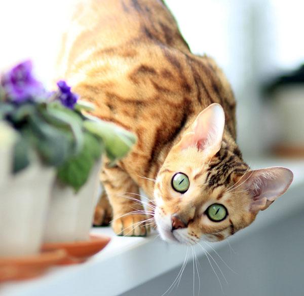 Bengal Cat Looking At Camara