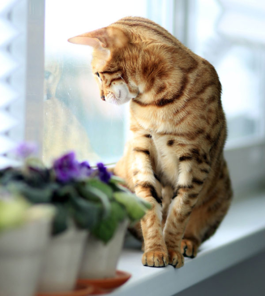 Bengal Cat Looking Out The Window