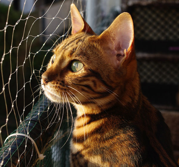 Bengal Cat Looking