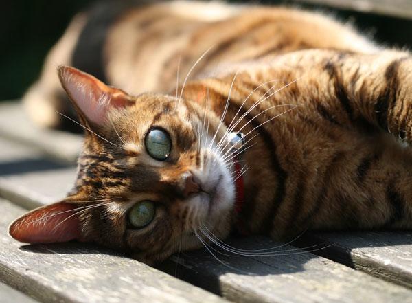 Bengal Cat On Garden Bench