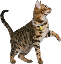 Brown spotted Bengal cat with paw in the air