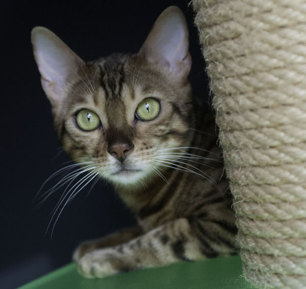 Bengal Cat Playing On Cat Tree