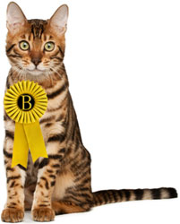 Bengal cat with rosette on chest