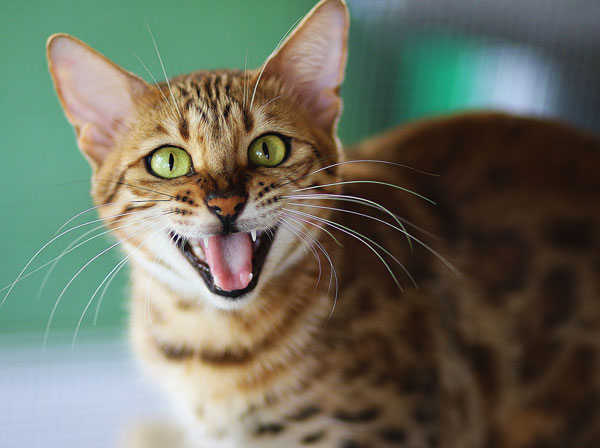 Bengal Cat Talking