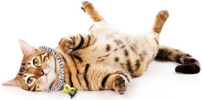 Brown spotted Bengal cat rolling on the floor