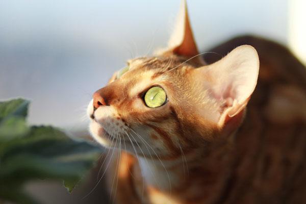 Bengal Cats Face