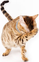 Brown spotted Bengal cat pawing head