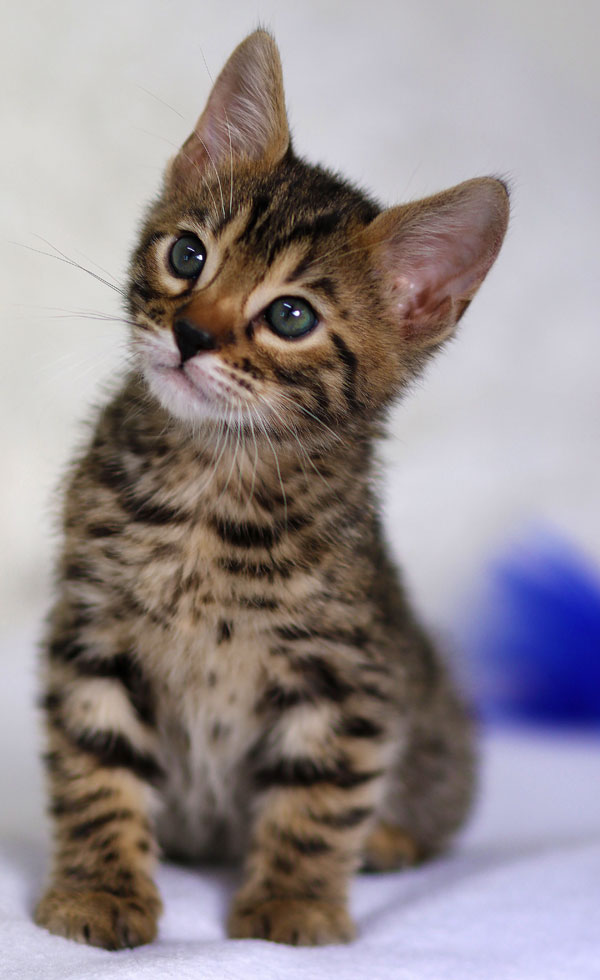 Bengal Kitten Looking Sideways