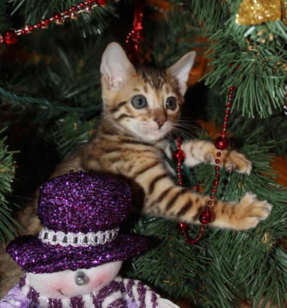 Bengal Kitten In Christmas Tree