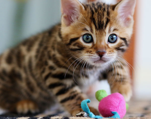 Bengal Kitten Playing With Toys
