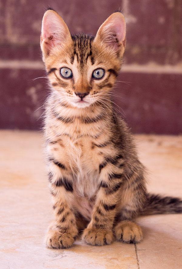 Bengal Kitten Sitting