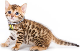 Brown spotted Bengal kitten sitting