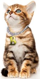 Brown marbled Bengal kitten looking upward