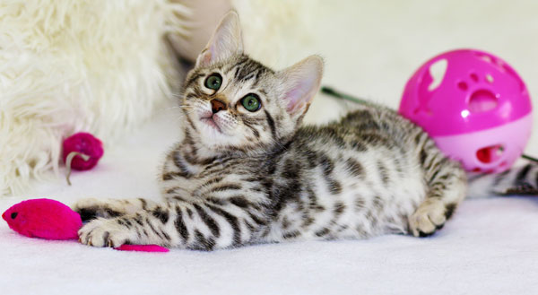 Bengal Spotted Kitten Playing
