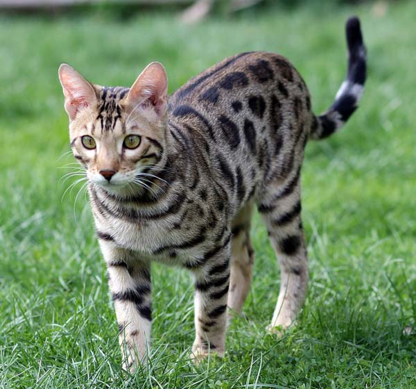 Brown spotted Bengal cat walking through grass