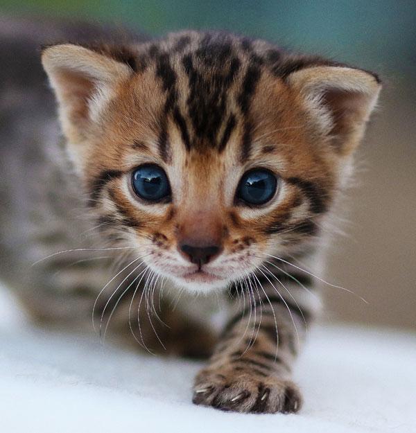 Blue Eye Bengal Baby Kitten