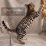 Dreamstone Bengals images