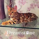 Dreamstone Bengal sitting on shelf