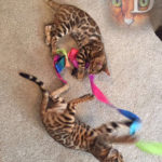 Dreamstone Bengal kittens playing with ribbon