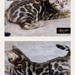 Dreamstone Bengal kitten