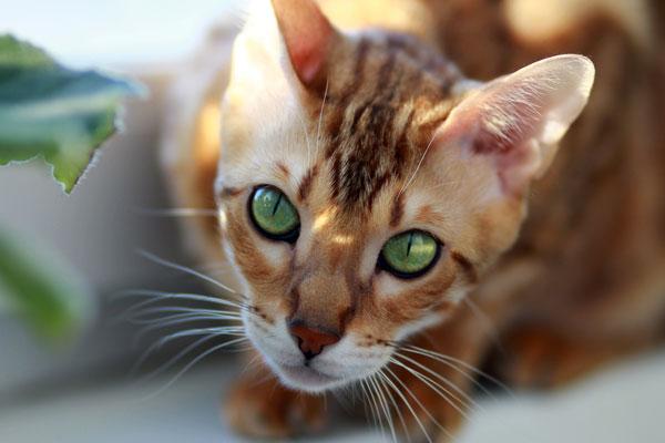 Green Eyes Bengal Boy Cat