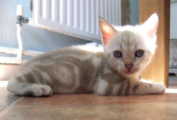 Blue eyed snow marble Bengal kitten