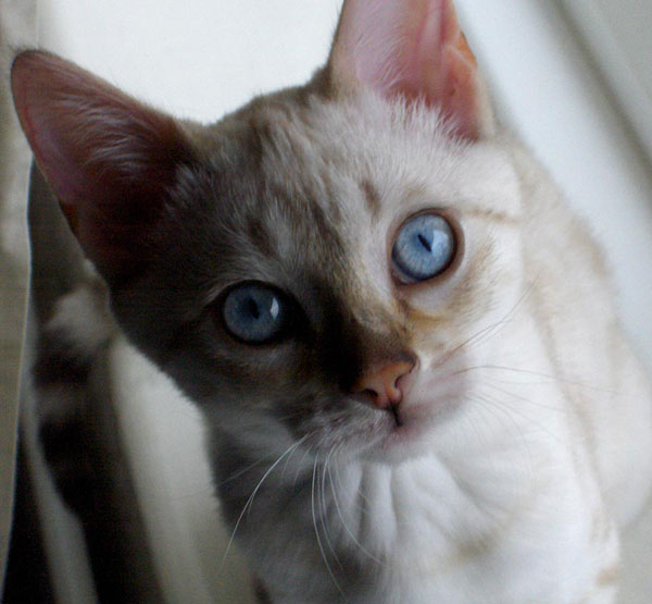 Blue eyed snow spotted Bengal cat, staring up at camera.