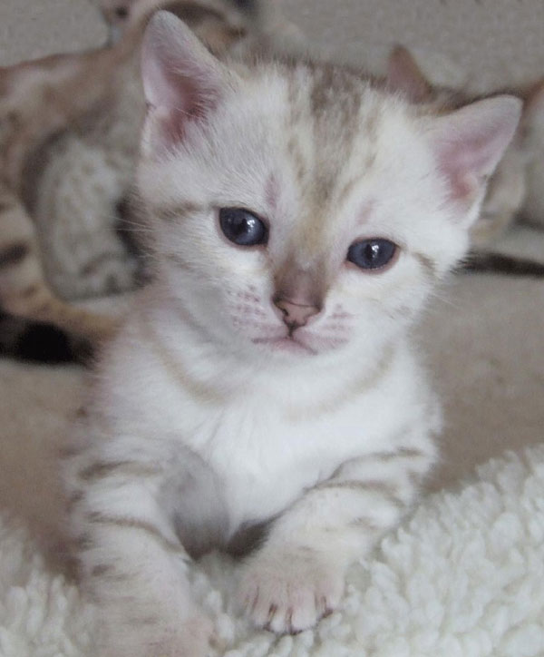 Blue eyed snow spotted Bengal kitten sitting on fur