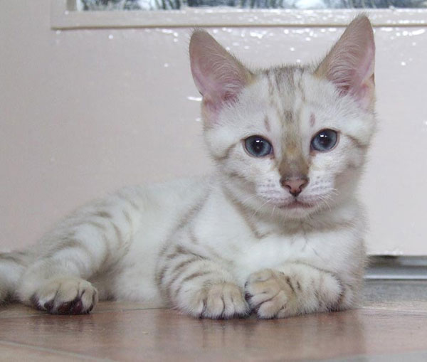Blue eyed snow spotted Bengal laying on the floor