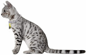 Silver spotted Bengal cat