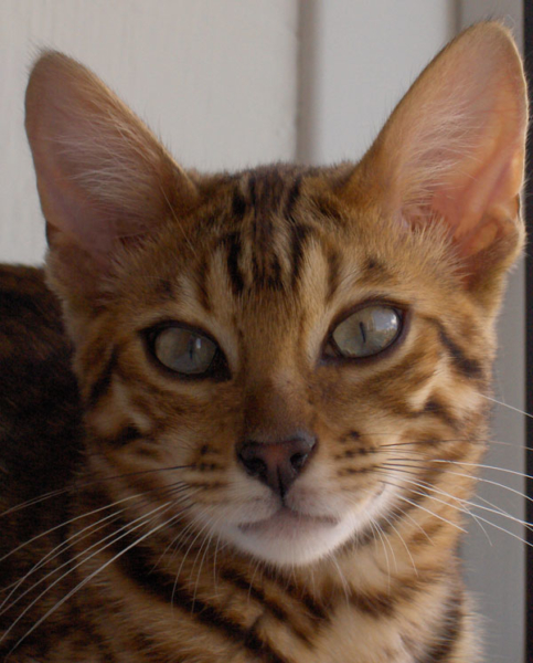 Brown spotted bengal cat closeup