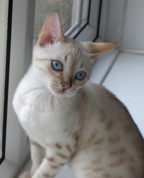 Blue eyes snow spotted Bengal in window