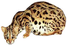 Asian Leopard Cat crouching down