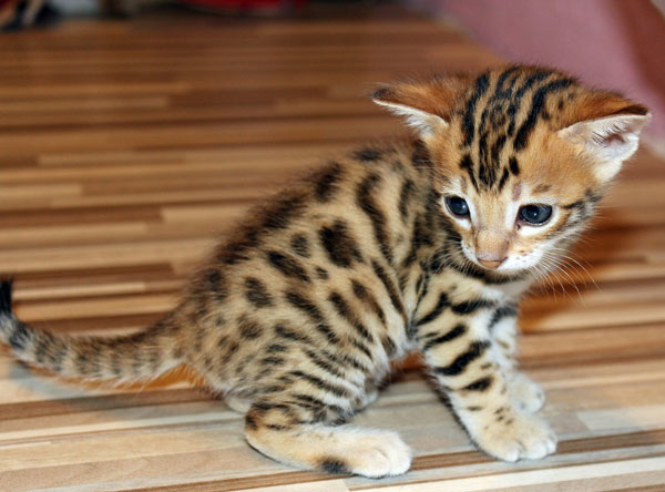 Brown spotted Bengal kitten sitting on the floor