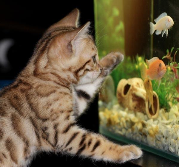 Brown spotted Bengal kitten pawing fish tank.