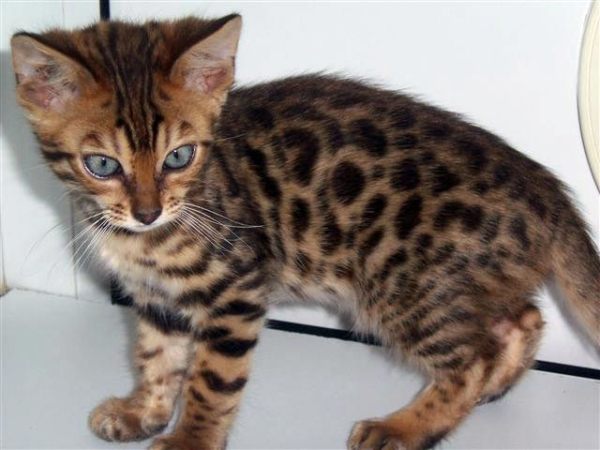 Brown spotted bengal kitten looking around