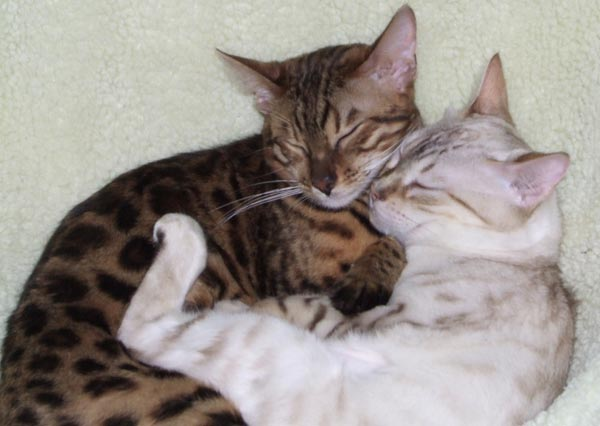 Brown spotted Bengal cat and Snow spotted Bengal cuddling